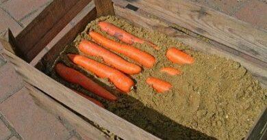 хранение морковки в погребе
