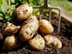 Сортируем картофель