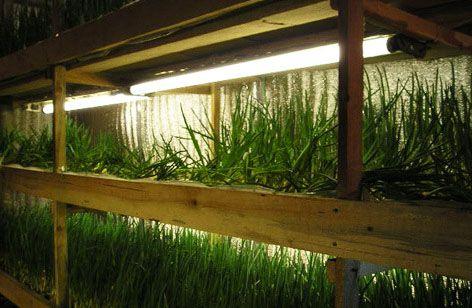 Выращивание лука на перо в подвале