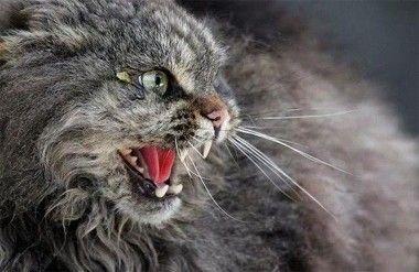 Кот, зараженный бешенством