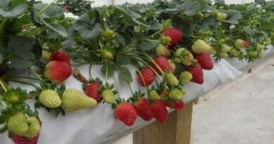 Выращивание Клубники В Своем Погребе